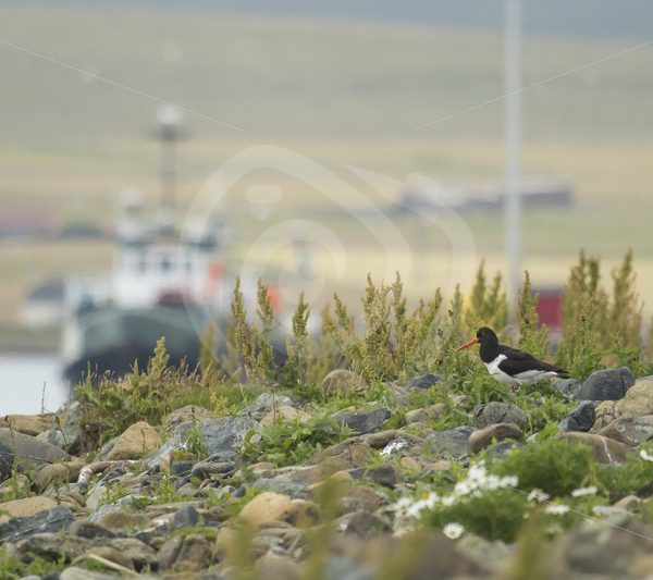 Oystercatcher in Shetland harbour - Nature Stock Photo Agency