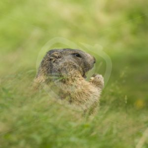 Alpine marmot in The Pyrenees - Nature Stock Photo Agency