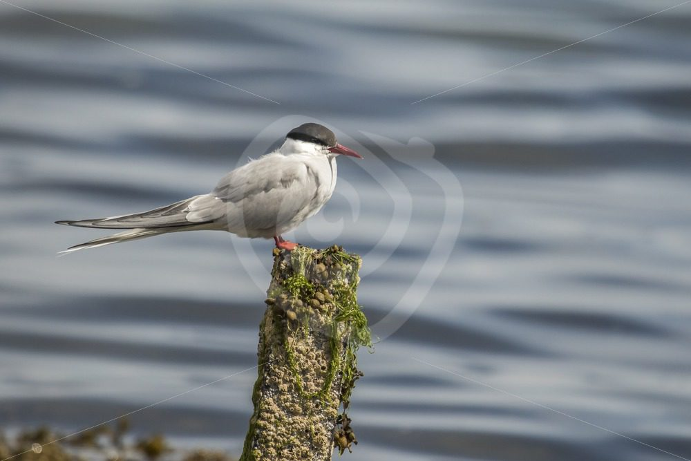 Arctic tern in Shetland harbour - Nature Stock Photo Agency