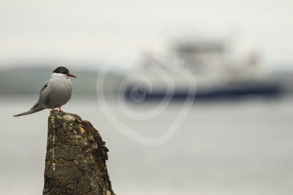 Arctic tern in the harbour, Shetland - Nature Stock Photo Agency