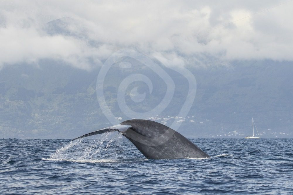 Blue Whale fluking - Nature Stock Photo Agency