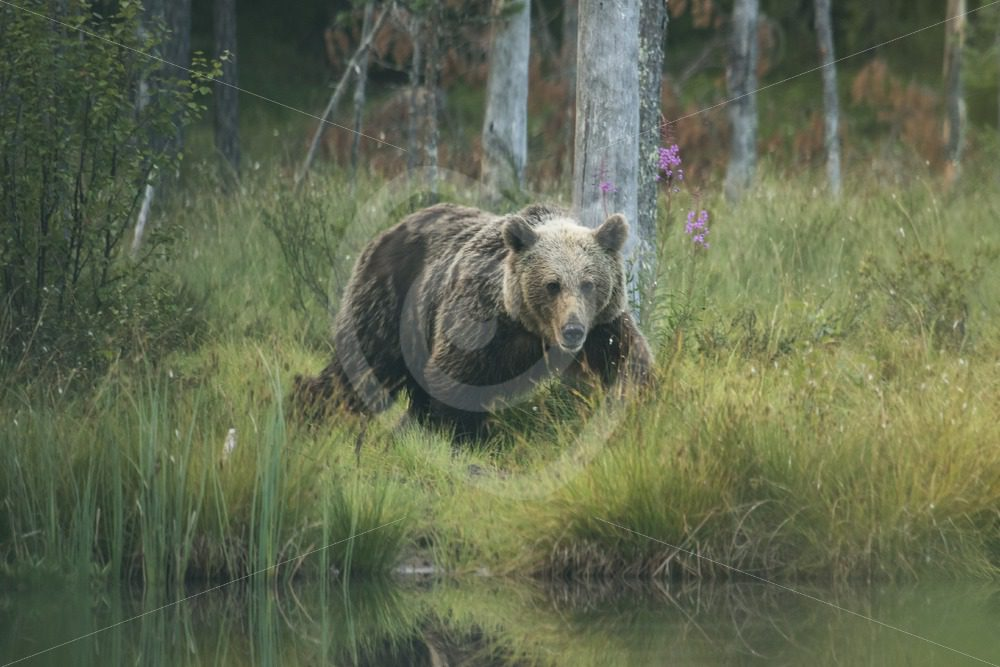 Brow bear in Kuhmo, Finland - Nature Stock Photo Agency