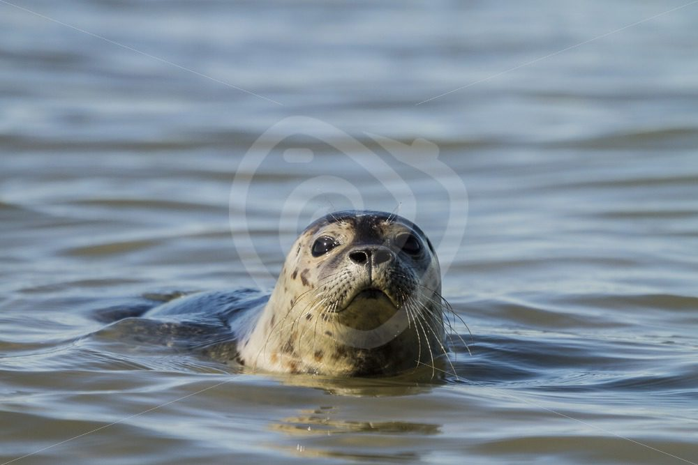 Common harbor seal in North Sea - Nature Stock Photo Agency