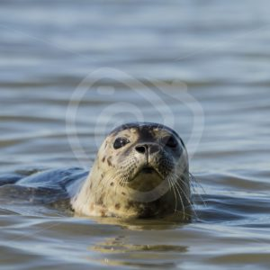 Common harbor seal in North Sea - Nature Stock Photo Agency