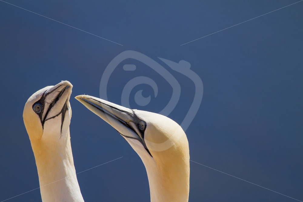 Couple of gannets - Nature Stock Photo Agency