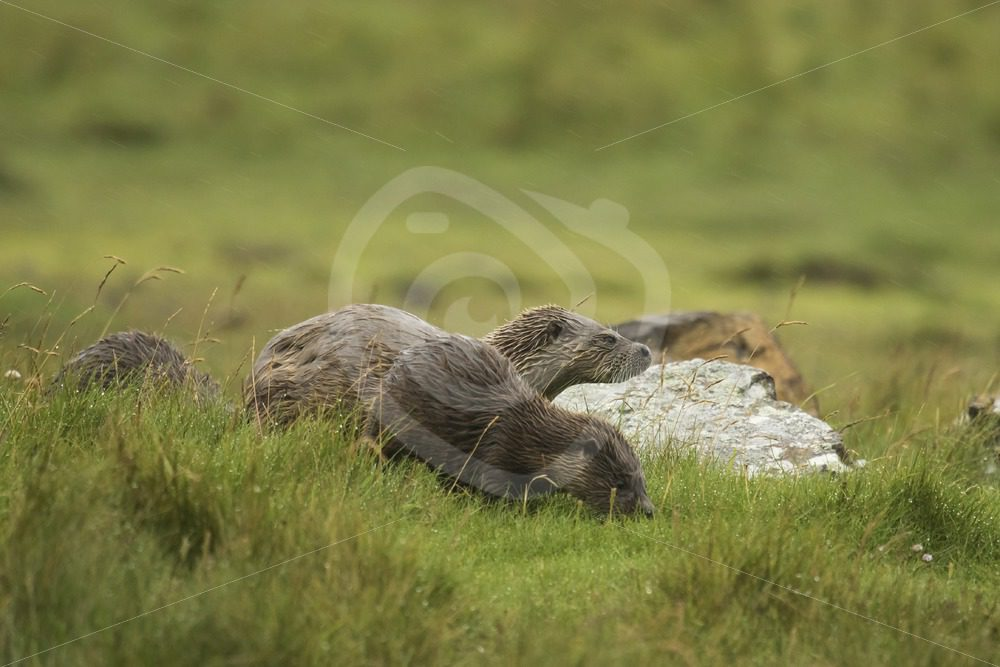 European Otter family in the grassland - Nature Stock Photo Agency