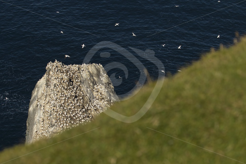 Gannets on Hermaness rock - Nature Stock Photo Agency