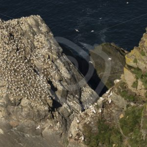 Hermaness coast with gannets - Nature Stock Photo Agency