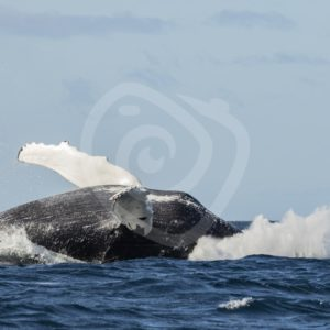 Humpback whale breaching - Nature Stock Photo Agency