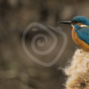 Kingfisher - Nature Stock Photo Agency