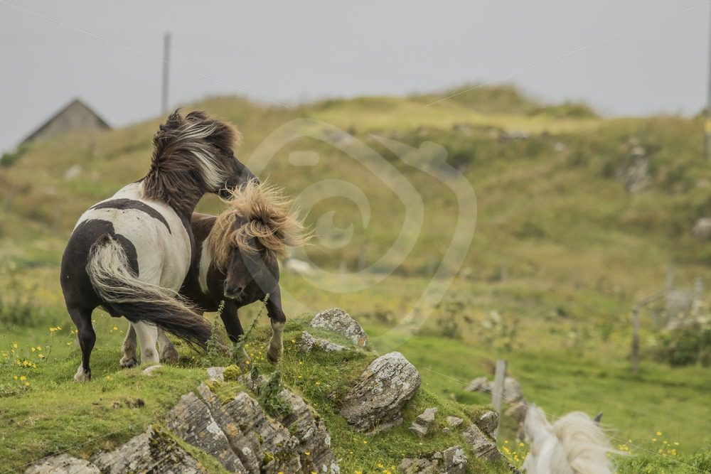 Playing Shetland pony's - Nature Stock Photo Agency