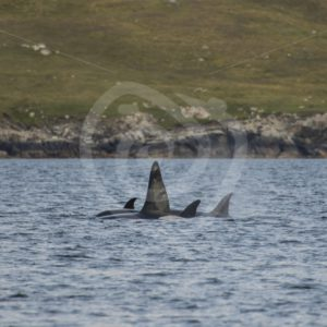 Pod of killer whales, orca's - Nature Stock Photo Agency