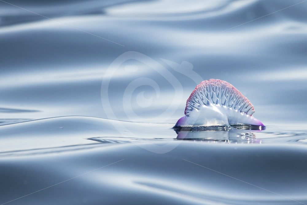 Portuguese Man O War - Nature Stock Photo Agency