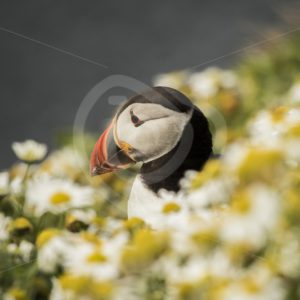 Puffin in Shetland between flowers - Nature Stock Photo Agency