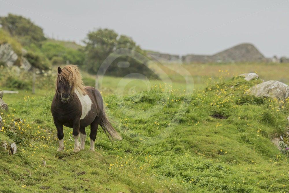 Shetland pony - Nature Stock Photo Agency