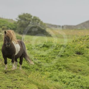 Shetland pony - Nature Stock Photo Agency
