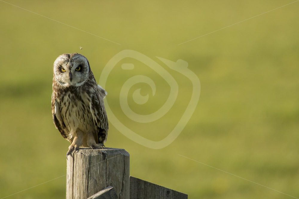 Short eared owl - Nature Stock Photo Agency
