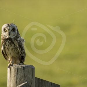Short eared owl - Nature Stock Photo Agency