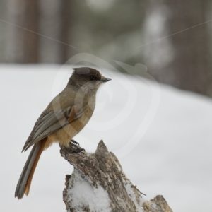 Siberian Jay in snowy Swedish woods - Nature Stock Photo Agency