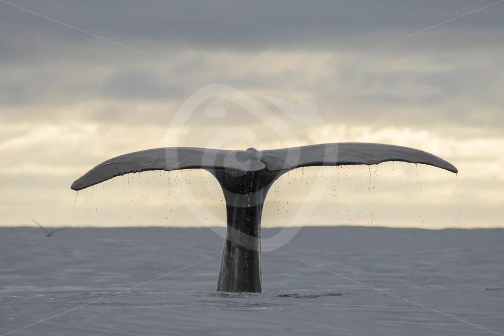 Spermwhale fluke - Nature Stock Photo Agency