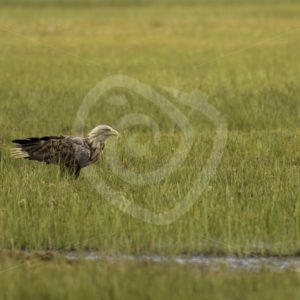 White-tailed eagle in swamp - Nature Stock Photo Agency