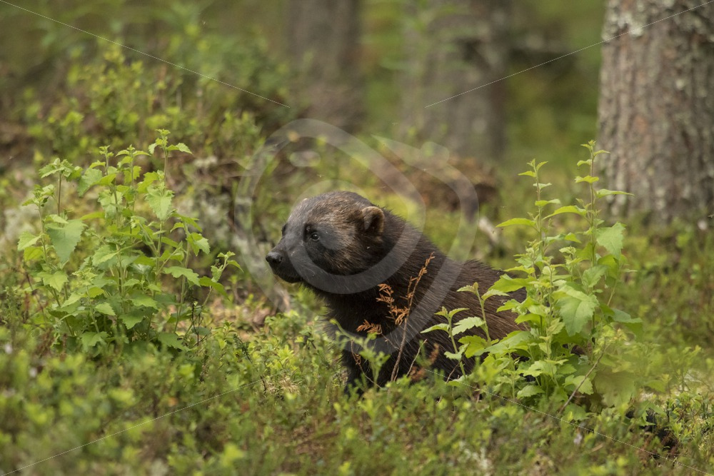 Wolverine in Finnish woods - Nature Stock Photo Agency