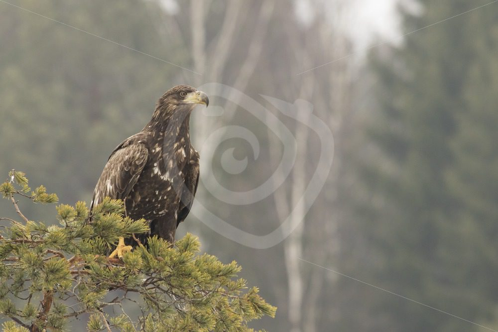 Young white-tailed eagle sitting on a branch - Nature Stock Photo Agency