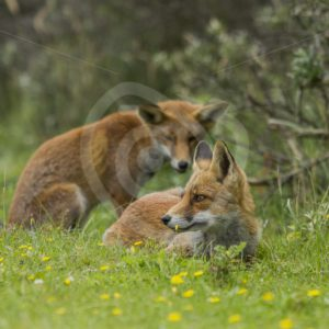 2 juvenile foxes in the grass - Nature Stock Photo Agency