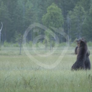2 young brown bears fighting in the night - Nature Stock Photo Agency