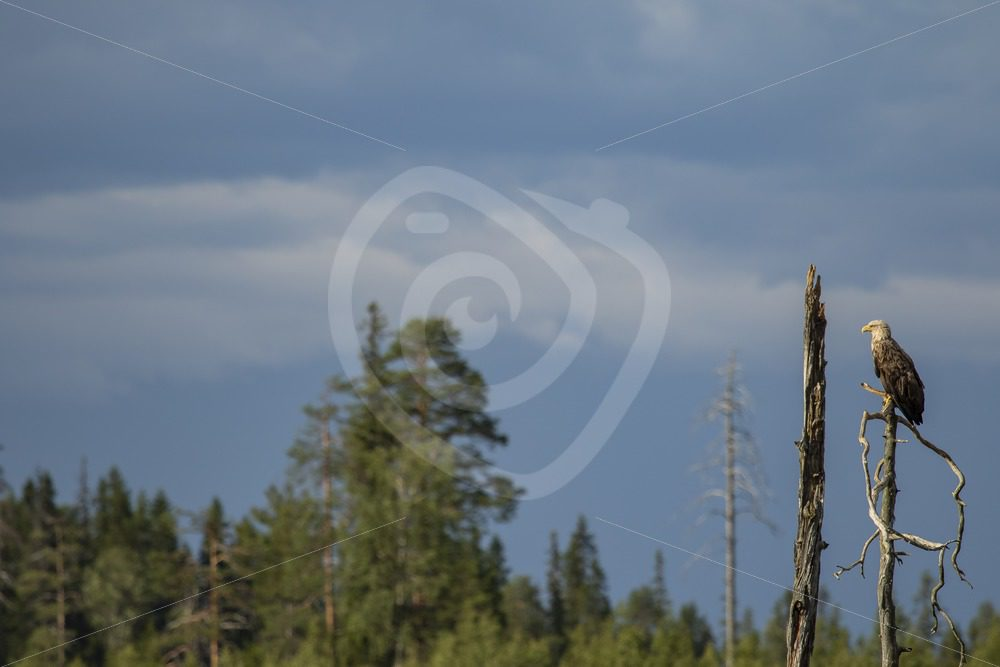 Adult white-tailed eagle sitting on a branch - Nature Stock Photo Agency