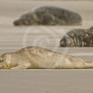 Baby common seal in between grey seals - Nature Stock Photo Agency