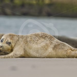 Baby harbor seal on the beach - Nature Stock Photo Agency