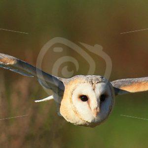 Barn owl horizontal in flight - Nature Stock Photo Agency