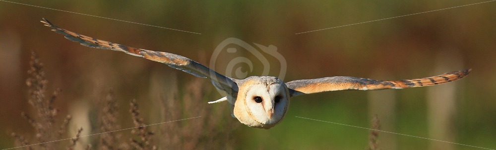 Barn owl horizontal in flight - Nature Stock Photo Agency