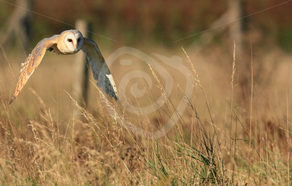 Barn owl in flight - Nature Stock Photo Agency