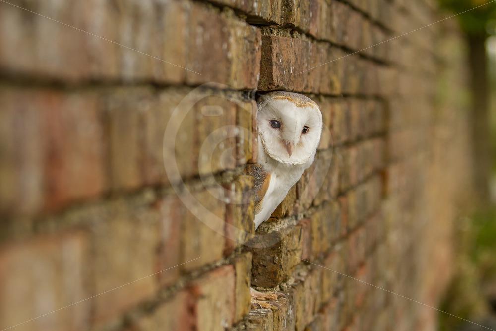 Barn owl peeking from a stone wall - Nature Stock Photo Agency