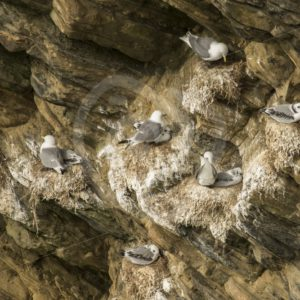 Black-legged kittiwakes nestling - Nature Stock Photo Agency