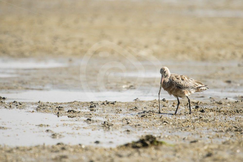 Black-tailed godwit feeding - Nature Stock Photo Agency