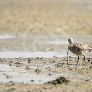 Black-tailed godwit feeding - Nature Stock Photo Agency