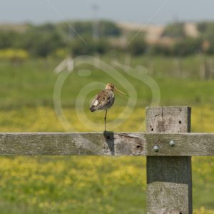 Black-tailed godwit on a wooden fence - Nature Stock Photo Agency