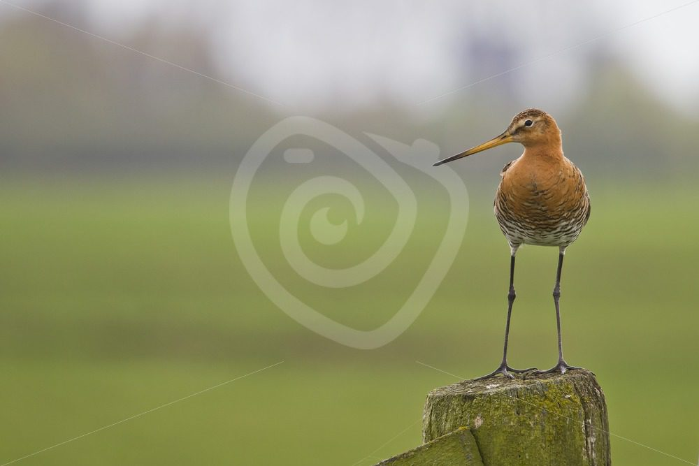 Black-tailed godwit on a wooden pole - Nature Stock Photo Agency