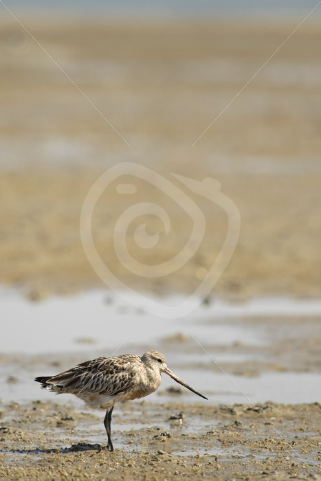 Black-tailed godwit on the beach - Nature Stock Photo Agency