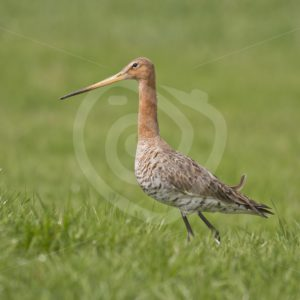 Black-tailed godwit portait in meadow - Nature Stock Photo Agency