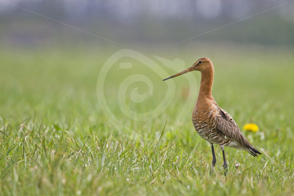 Black-tailed godwit posing in the field - Nature Stock Photo Agency
