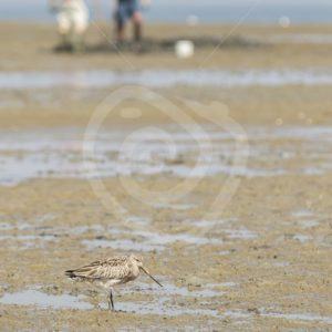 Black-tailed godwit with worm catchers in the back - Nature Stock Photo Agency