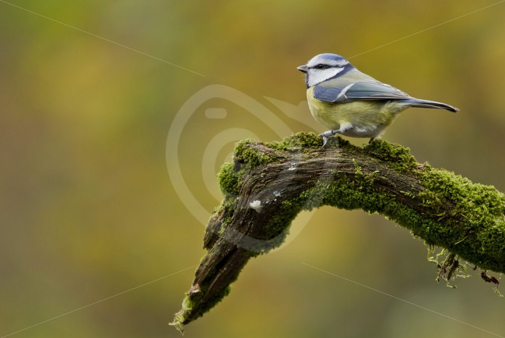 Blue tit on a branche - Nature Stock Photo Agency