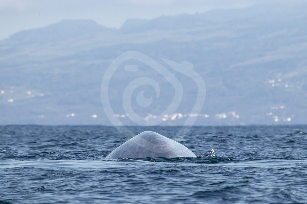 Blue whale diving in front of Lajes village - Nature Stock Photo Agency