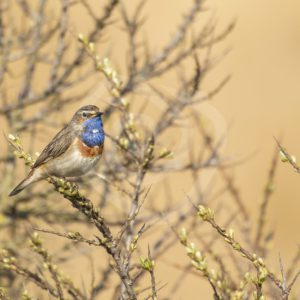 Bluethroat in the bushes - Nature Stock Photo Agency