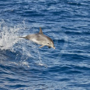 Bottlenose dolphin jumping in the waves - Nature Stock Photo Agency
