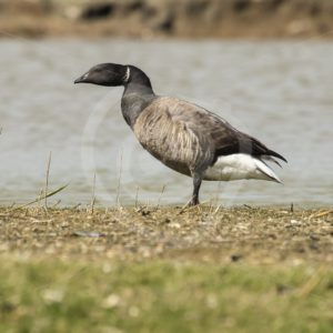 Brant goose on the shore - Nature Stock Photo Agency